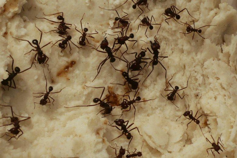 Rimedio contro le formiche tutto in 1 - Le formiche in casa ...