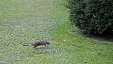 topo, topi nel giardino