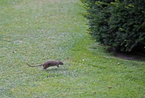 Come eliminare i topi in giardino tutto in 1 - Come uccidere i topi in casa ...