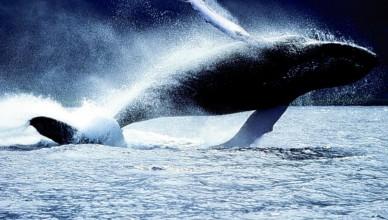 balena gigantesca