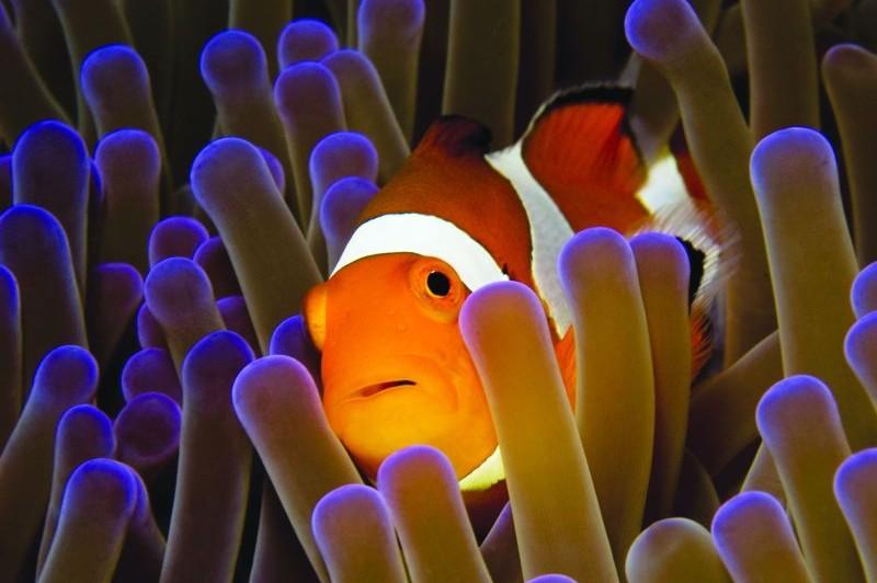 Dove Vive Il Pesce Pagliaccio.Pesce Pagliaccio Famoso Grazie Alla Disney Tutto In 1