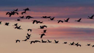 animali migratori